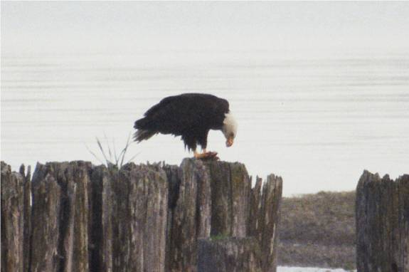 Picture of an eagle eating a fish