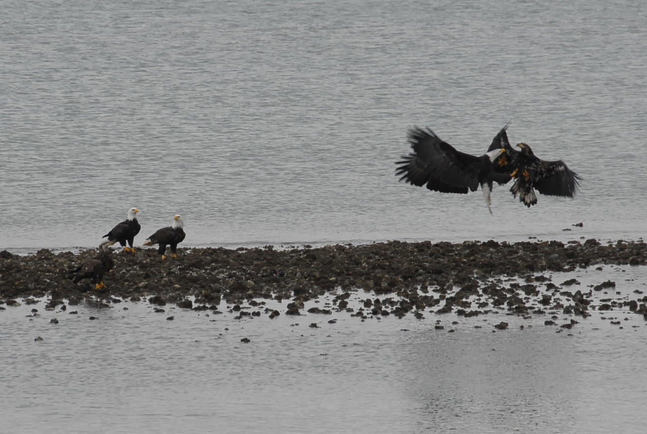 Picture of 3 adult eagles and 2 juvenile eagles.  An adult eagle and a juvenile eagle are fighting