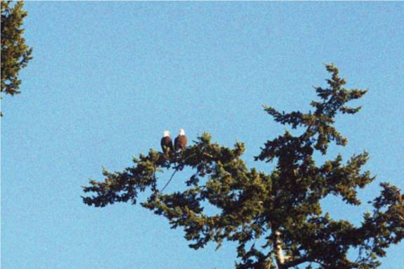 Picture of a pair of eagles in another tree on a different day